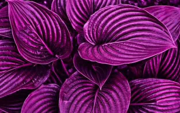 Erba fatata viola con bella luce. chiuda in su. concetto di design.