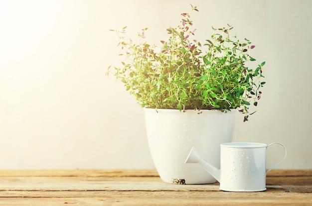 Erba fresca dei rosmarini che cresce in vaso su fondo di legno. erbe biologiche con perdite di sole.