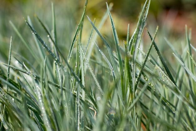 Erba verde con gocce d'acqua. primo piano delle piante con la rugiada di mattina sulle foglie.
