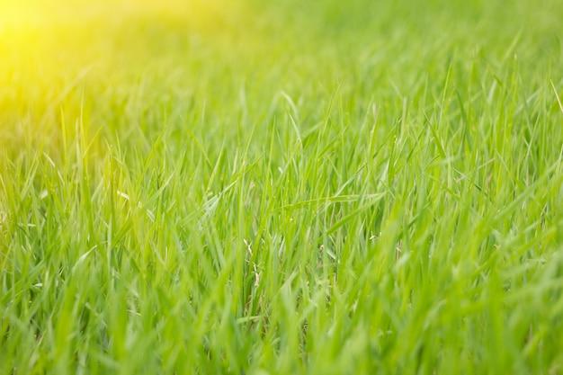 Erba verde con sole, sfondo naturale, erba di estate