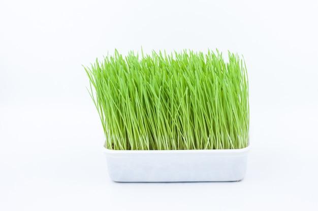 Erba verde dell'animale domestico, erba del gatto