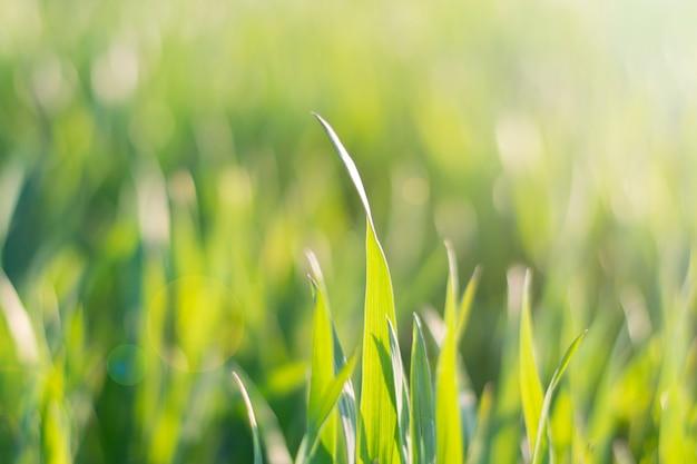 Erba verde della molla nei raggi soleggiati di tramonto