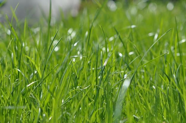 Erba verde intenso fresca fresca. sfondo primavera