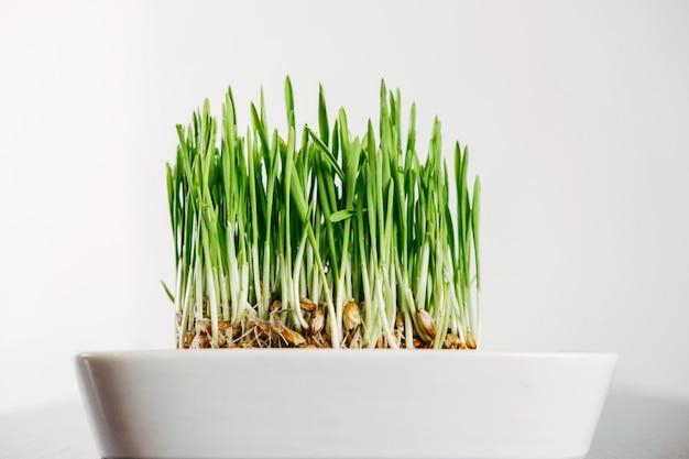 Erba verde per gatti su un muro bianco