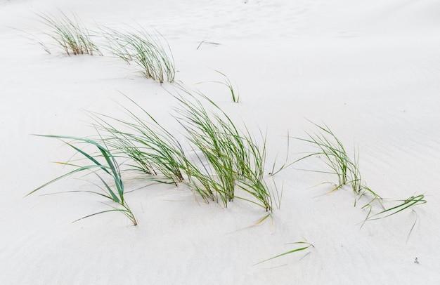 Erba verde sulla spiaggia sabbiosa del mar baltico