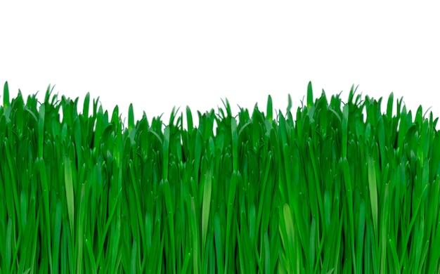 Erba verde vibrante isolata su fondo bianco, vista laterale dell'erba verde fresca