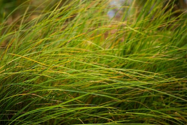 Erba verde vicino al fiume nel vento, bello fondo, fuoco selettivo