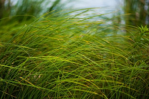Erba verde vicino al fiume nel vento, fuoco selettivo