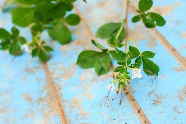 Erbaccia della natura con radice e terreno sul vecchio legno blu