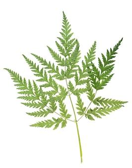 Erbario essiccato pressato di erba estiva isolato su sfondo bianco