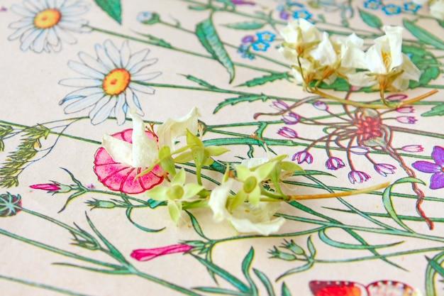 Erbario secco di fiori di gelsomino