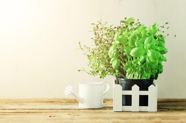 Erbe biologiche verdi (melissa, menta, timo, basilico, prezzemolo) in vaso e staccionata bianca. estate, sfondo di primavera con perdite di sole.