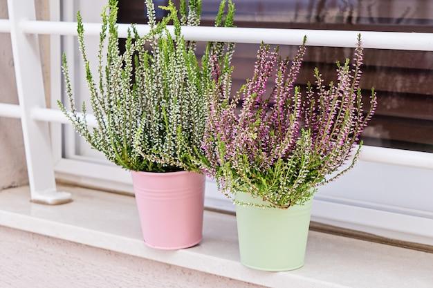 Erica in fiore in vaso su finestra sil