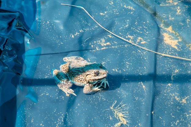 Esculentus di pelophylax della rana verde in un primo piano dello stagno