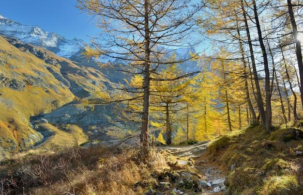Escursioni tra bellissimi larici dorati in autunno in montagna alpina e innevata