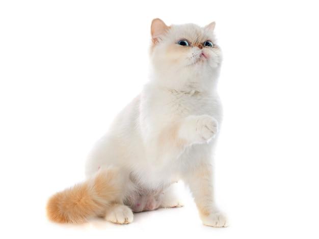 Esotico gatto a pelo corto