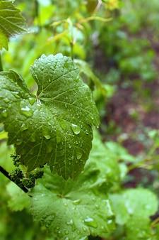 Estate di pioggia di ribes verde foglia