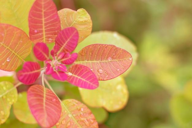 Estratto autunnale con foglie rosa.