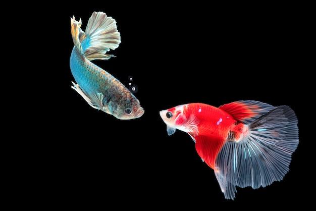 Faccia a faccia del pesce betta, pesce combattente siamese, betta splendens isolato sul nero