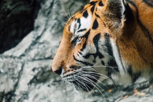 Faccia closeup tigre di asia