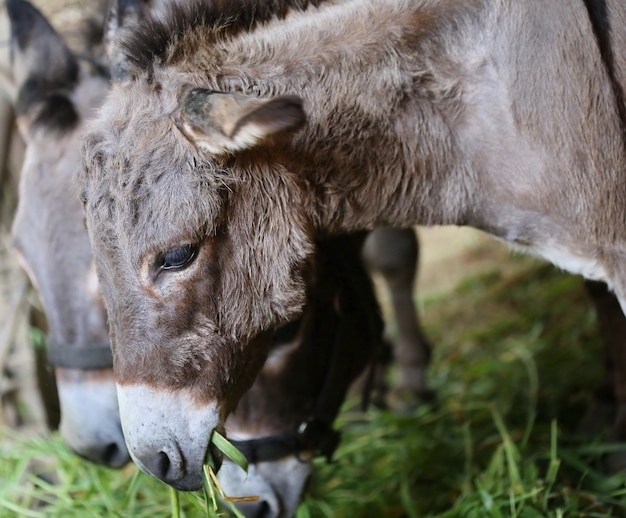 Faccia da mulo in fattoria e sole di sera