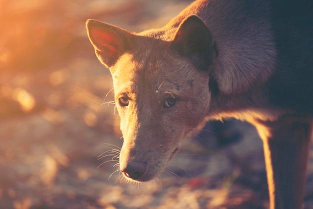 Faccia di cane al momento del tramonto