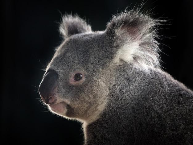 Faccia laterale di un koala sul nero