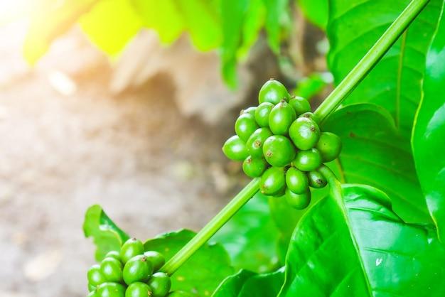 Fagioli di caffè arabica organici 100% sull'albero in chiang rai, a nord della tailandia.