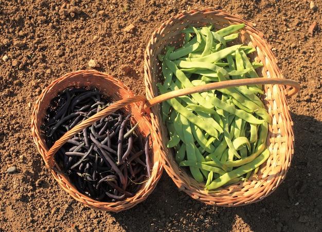 Fagiolini piatti e viola nel giardino in un cesto di vimini