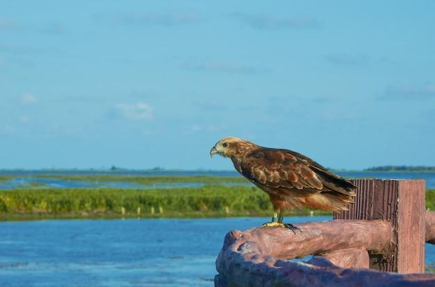 Falco al santuario di fauna selvatica di thalenoi, phatthalung, tailandia.