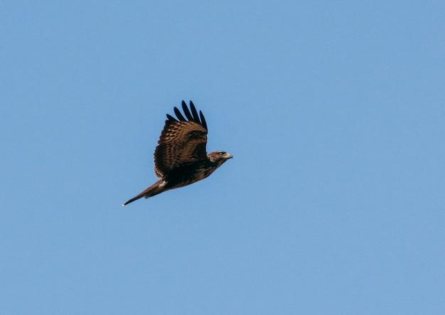 Falco che vola in un bellissimo cielo blu