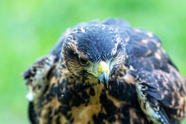 Falco dalla coda bianca