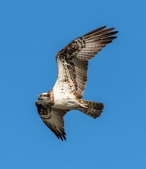 Falco di fiume o falco pescatore occidentale (pandion haliaetus) in volo, animali della fauna selvatica