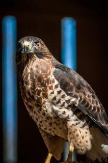 Falco raptor uccello piume