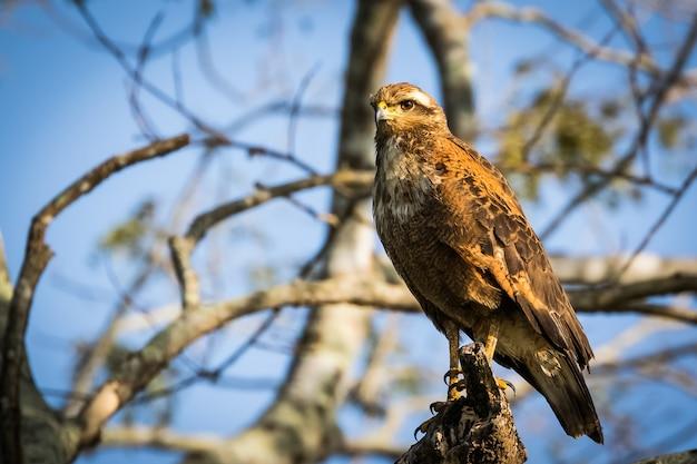 Falco savana