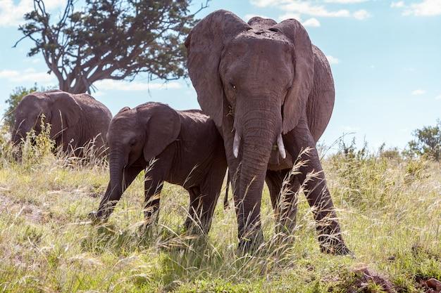 Famiglia dell'elefante africano che cammina nella savana