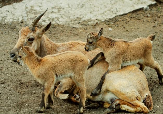 Famiglia di capre di montagna