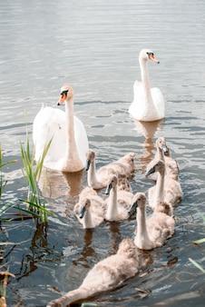 Famiglia di cigni muti, adulto con cigno giovane, bianco, cygnus olor