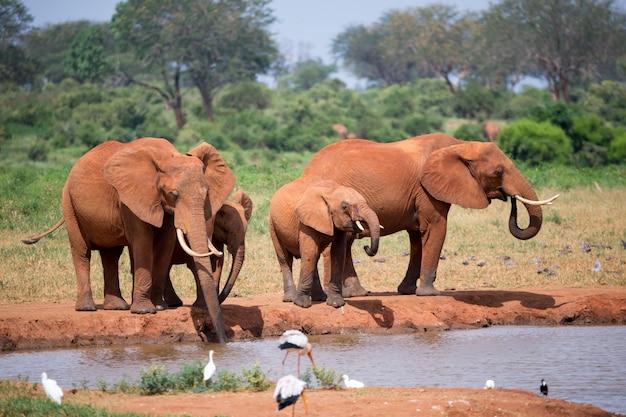 Famiglia di elefanti acqua potabile dalla pozza d'acqua