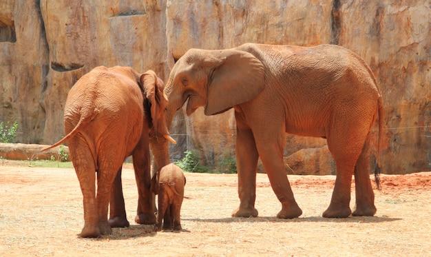 Famiglia di elefanti dell'africa