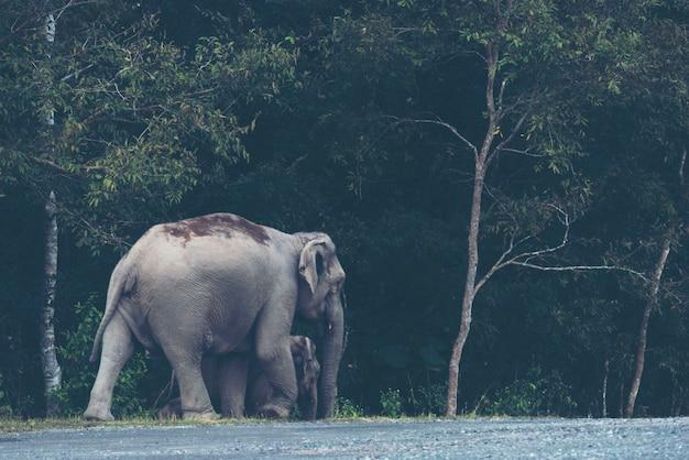 Famiglia di elefanti selvatici