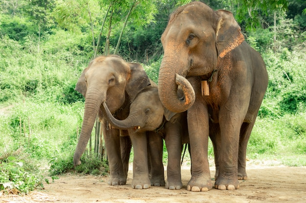 Famiglia di elefanti thailandesi