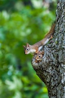 Famiglia di scoiattolo rosso americano che dà una occhiata dal nido in un buco in un vecchio tronco d'albero