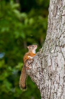 Famiglia di scoiattolo rosso americano che dà una occhiata dal nido in un vecchio tronco di albero