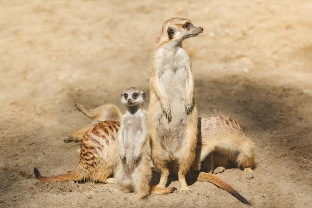 Famiglia di simpatici mammiferi suricati, suricata.