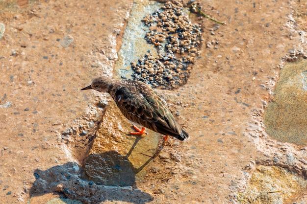Famiglia di uccelli marini turnstone comune (arenaria interpres, turnstone) camminando sulle rocce e in cerca di cibo