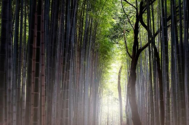 Famosa foresta di bambù sagano a kyoto in giappone