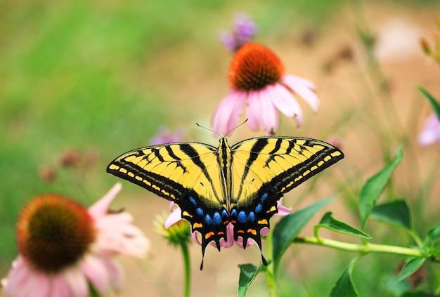 Farfalla a coda di rondine con echinacea
