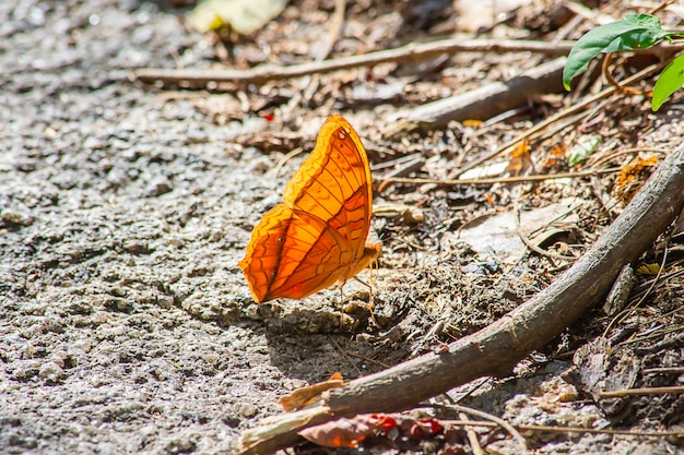 Farfalla arancione con bei modelli sulle rocce.