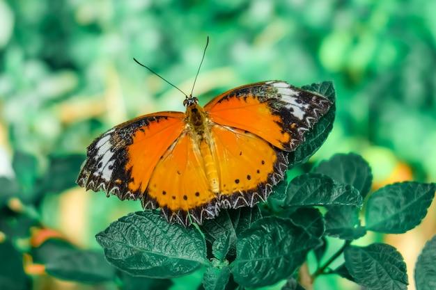 Farfalla. bella farfalla tropicale sul fondo della natura vaga. farfalle colorate